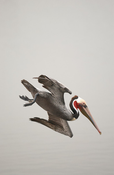 Brown Pelican In-Flight
