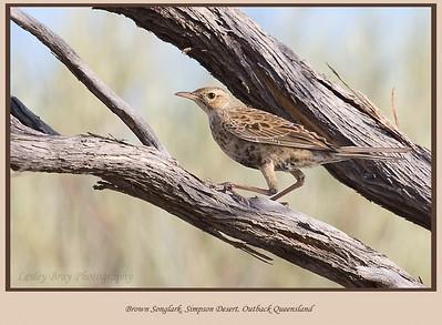 Grassbirds & Songlarks