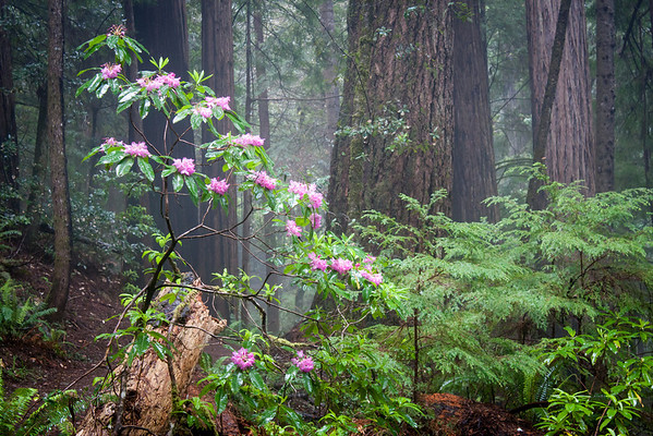 Spring in the Coastal Redwoods