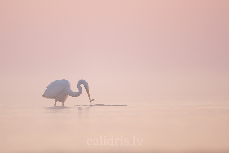 Great Egret in misty sea with fish