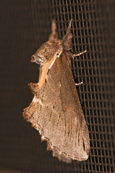 Prominent - Elegant - (Odontosia elegans) - Dunning Lake - Itasca County, MN