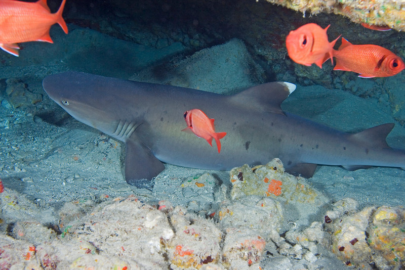 White Tip Reef Shark 1.jpg