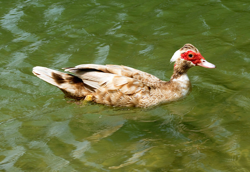 Brown muscovy duck, Houston area