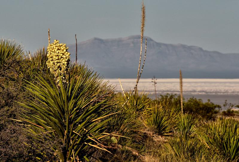 NEA_1161-Yucca Bloom.jpg