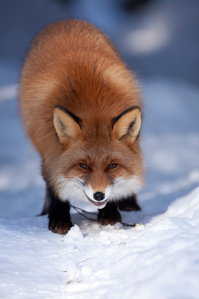 Red Fox 5.jpg