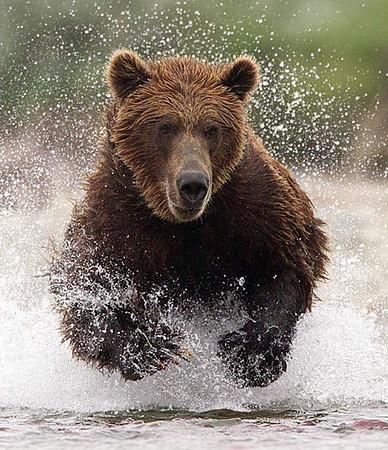 Alaska Brown Bears 2013