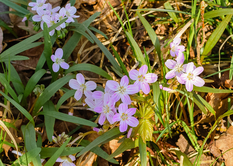Spring Beauty (Claytonia virginica) flowers seen at St. Patrick's County Park, South Bend, IN