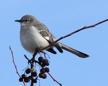 Northern Mockingbird 2-1-16
