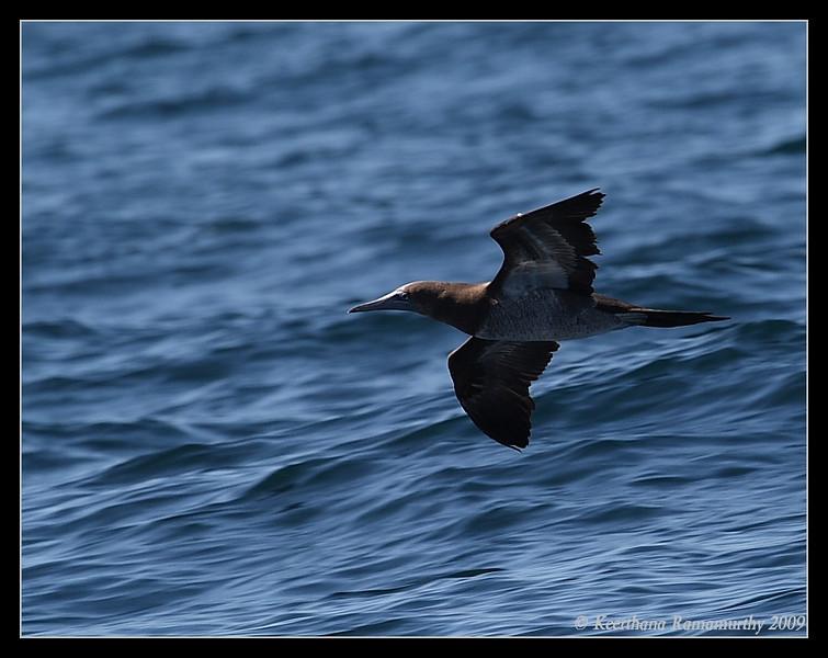 Brown Booby, Islas Coronados, Mexico, March 2009