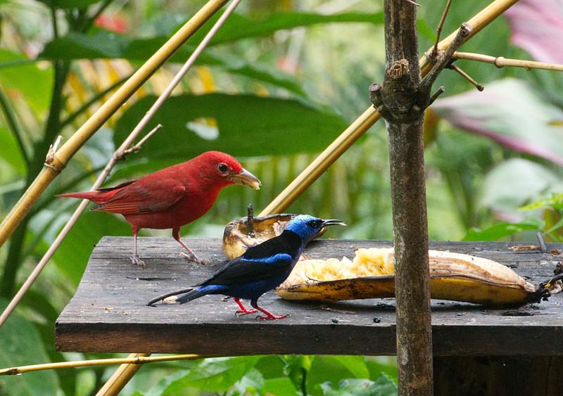 Summer Tanager♂︎ (Piranga rubra) and Red-legged Honeycreeper ♂︎(Cyanerpes cyaneus)