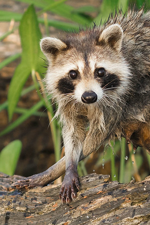 Northern Raccoons