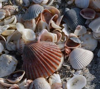 Shells - S/C