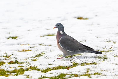 Duvor – Pigeons & Doves