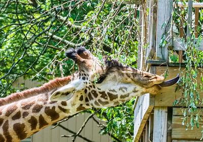 Lehigh Valley Zoo, 7-5-21 (X-T4)