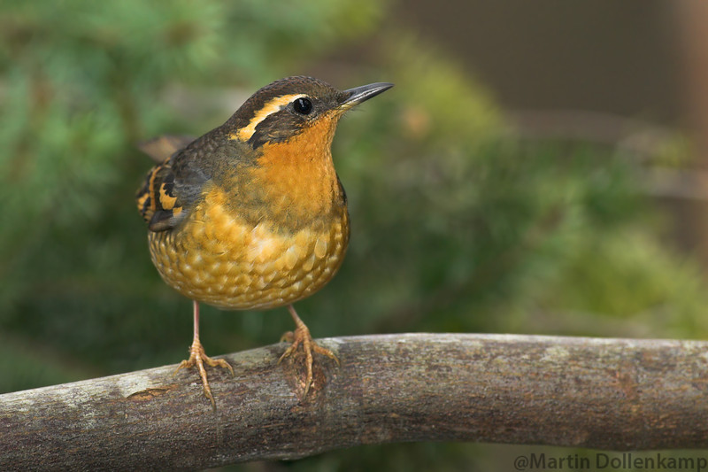 Varied Thrush female