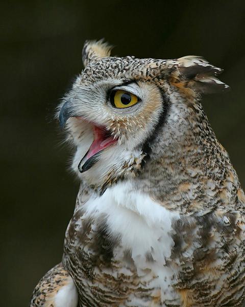 Great Horned Owl (c) Quogue Wildlife Refuge