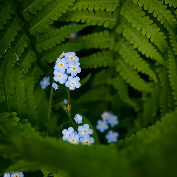 Forget-me-nots hiding in the ferns