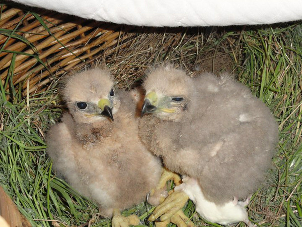3 Sibling Red Tail Hawks