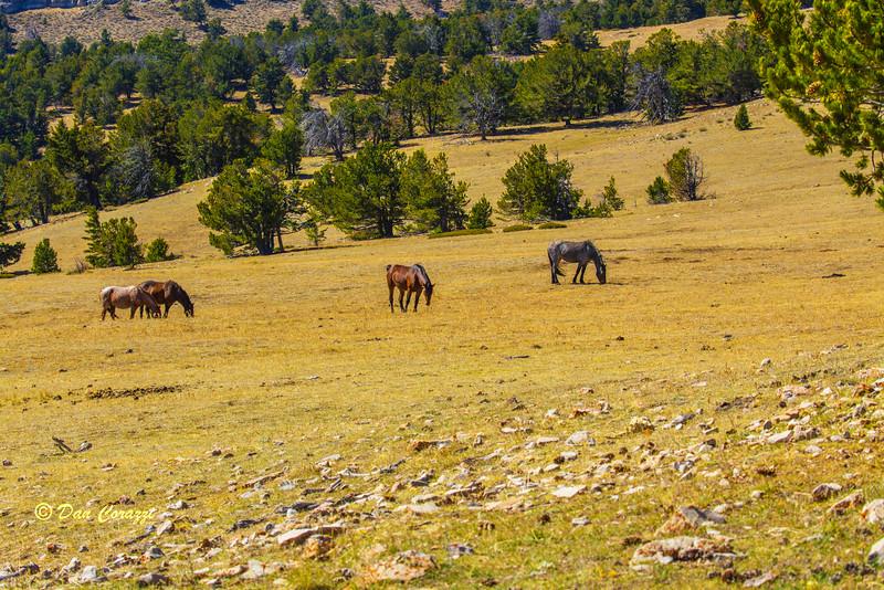 Mustangs grazing-1a copy.jpg