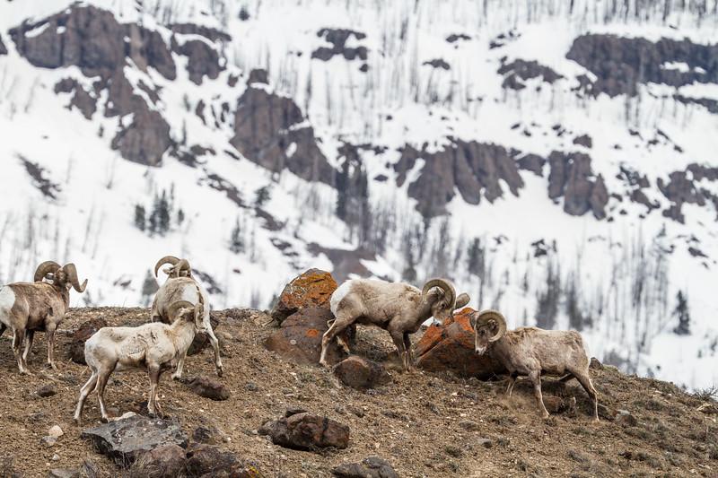 Bighorn rams bachelor herd near Soda Butte Yellowstone National Park WY IMG_6763.jpg