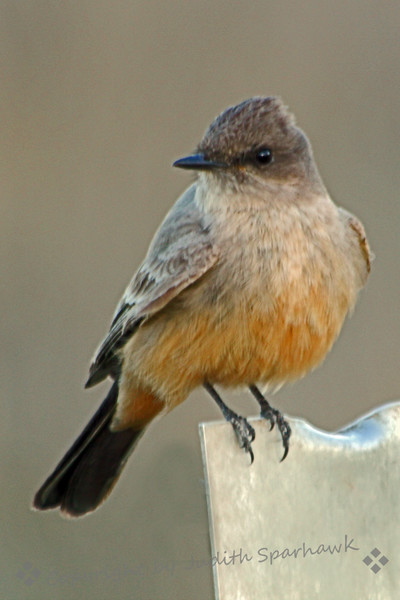 Say's Phoebe ~ The phoebe perched on this metal post, returning after catching flying insects.  At one point he flew toward me (I was using my car as a blind), and perched right on the driver's side- view mirror, only 18 inches from my camera lens.  Unfortunately, this was way too close for my zoom lens, but sure was a nice close-up view.