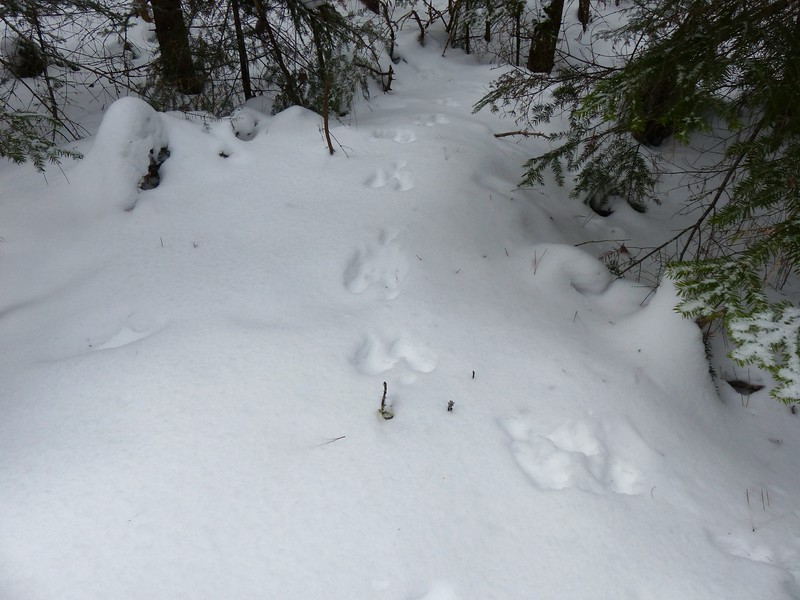 Snowshoe Hare - tracks and trail