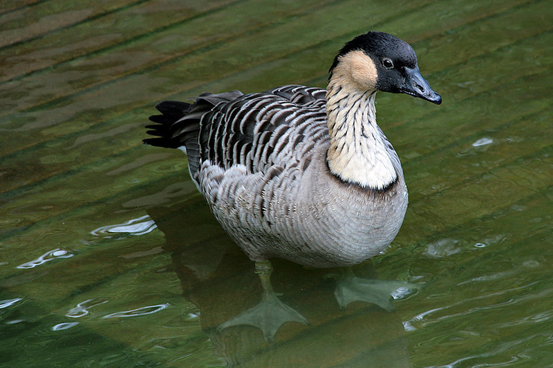 Kowloon Park, Duck
