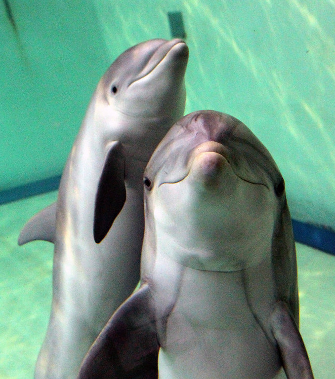. Baby bottlenose dolphin Doerte and her mother Delphi swim through their basin at the zoo in Duisburg, western Germany. Doerte, almost two months old, was still fed milk by her mother.    (ROLAND WEIHRAUCH/AFP/Getty Images)