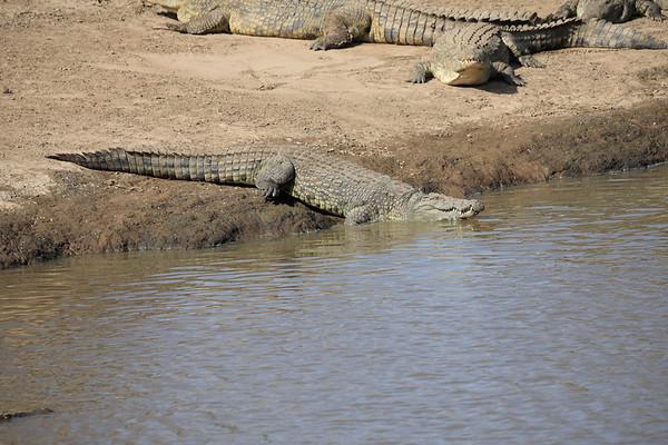 Nile Crocodile Mara Kenya 2018