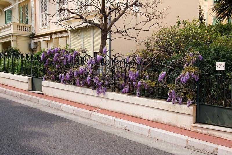 Flowering Wisteria.jpg
