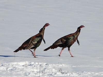20200129 Wild Turkey