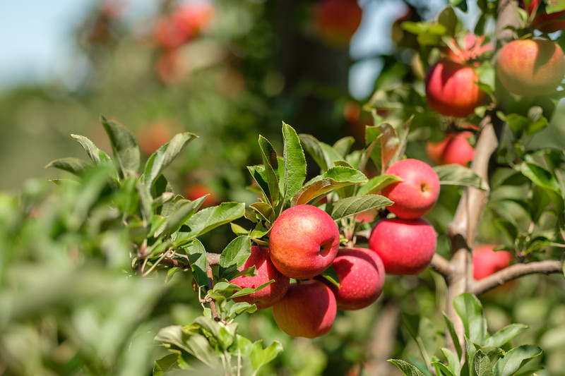 Apple Picking - Terhune Apple Orchard '17
