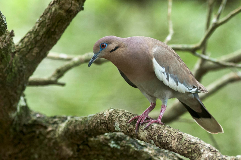 White-Winged Dove Green Cay Wetlands Delray Beach, Florida © 2013