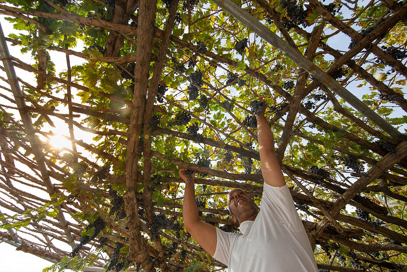 Grape - Wakan village - Nakhal218- Oman.jpg