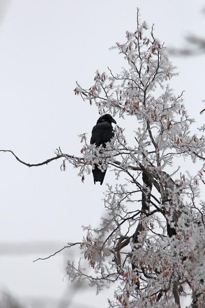 Chillin' Raven