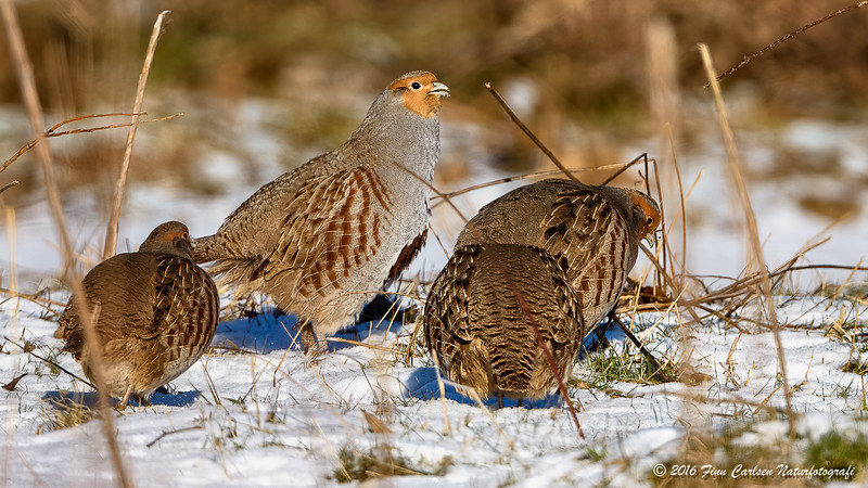 Agerhøne - Perdix perdix - Grey Partridge