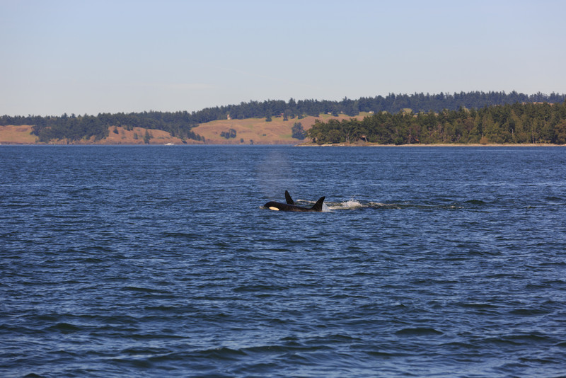 2013_06_04 Orcas Whale Watching 448.jpg