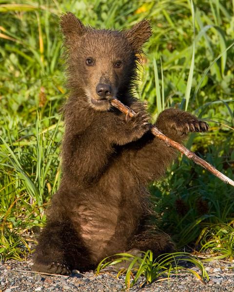 Spring Cub Chewing Stick 24x30.jpg