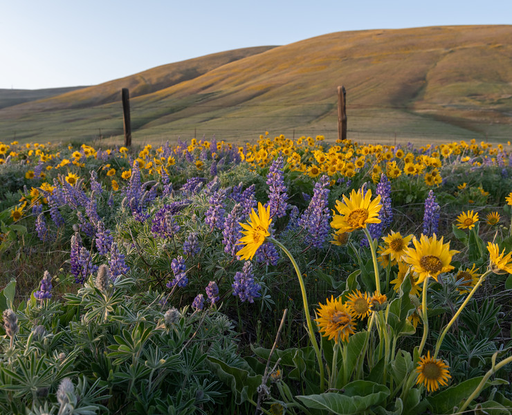 Columbia Gorge Wildflowers Fence Posts