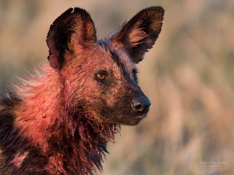 African Wild Dog, Savuti, Chobe NP, Botwana, May 2017-6.jpg