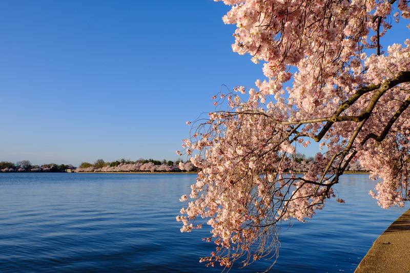 20180408 DC Cherry Blossoms 038.jpg