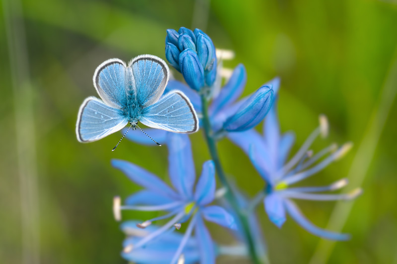 Common camus wildflower & butterfly -  Camassia quamash