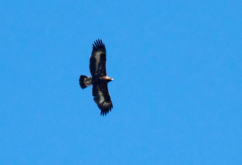 Golden Eagle juvenile Summit Ledges Hawk Ridge Duluth MN IMG_7581.jpg