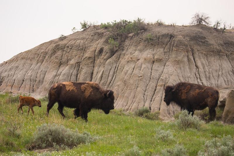 bison baby-4044.jpg