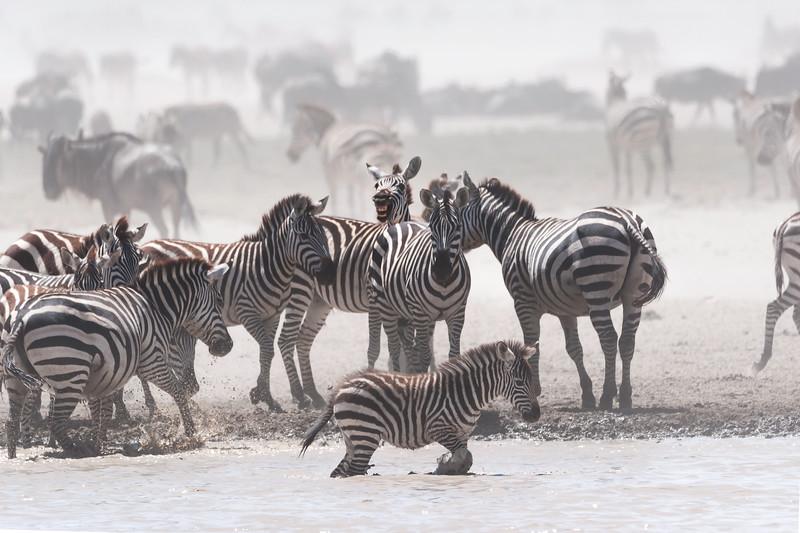 serengeti zebra smile 0430.jpg
