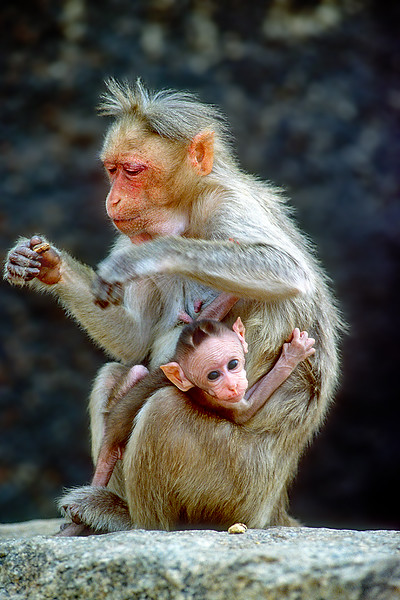 128.Marc Auth.2.Curious Macaques.jpg
