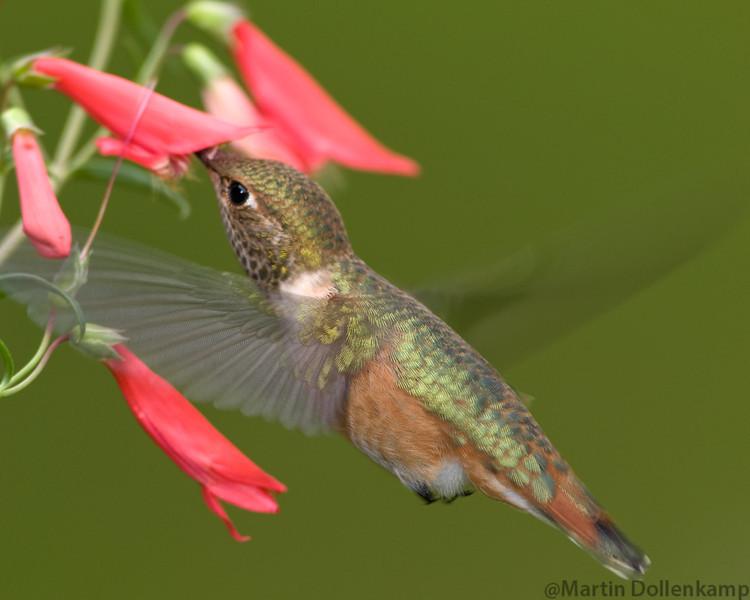 Rufous Hummingbird Selasphorus rufous juvinile on Pentsamon Tubular Bells