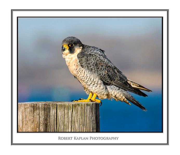 Peregrine Falcon Mat DSC_2729.jpg
