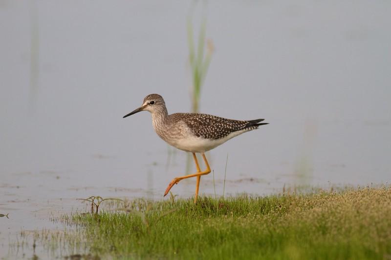 Lesser Yellowlegs Kimmes-Tobin Wetlands Douglas Co WI IMG_0156.jpg