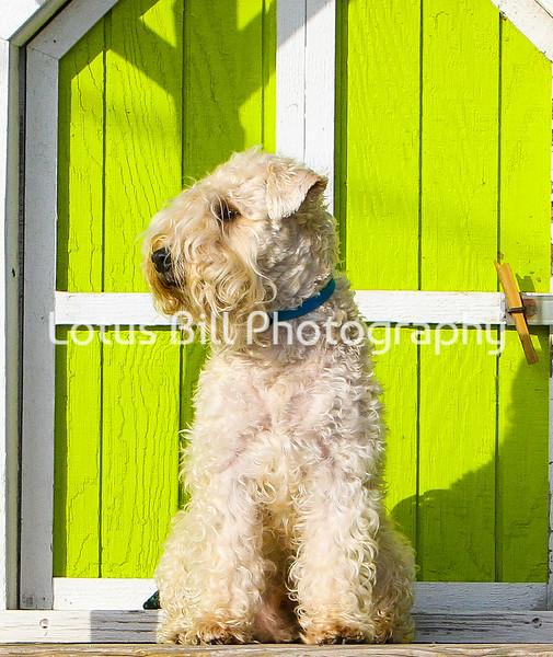 Turk - Wheaten Terrier